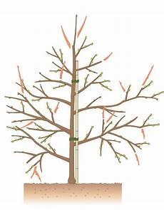 Apfelbaum Schneiden Tipps F 252 R Jede Baumgr 246 223 E Apfelb 228 Ume