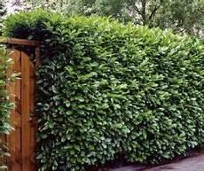 lebender zaun immergrün hecken und fertig hecken als sichtschutz