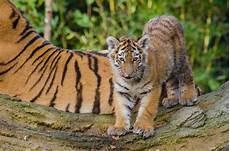30 Foto Keren Harimau Gambar Keren Hd