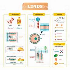 uipi8ds lipids vector illustration triglycerides waxes and