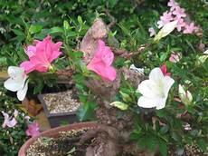 fiori azalee fiori di azalea
