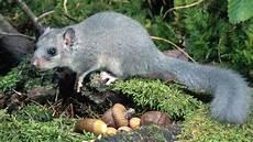 Was Essen Mäuse In Der Natur - siebenschl 228 fer steckbrief winterschlaf nahrung lebensraum