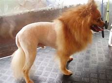 pomeranian lion cut dog grooming pinterest puppys parlour and dog
