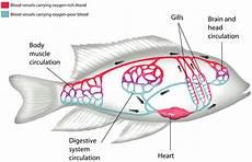 Gambar Fungsi Tubuh Pisces Struktur Gambar Jantung Ikan Di