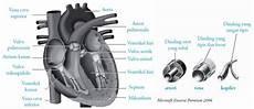 Pintar Pelajaran Fungsi Jantung Insan Gambar Cara