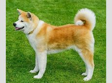 Akita Breed Description (Information): History and Overview