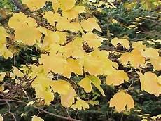 Italian Maple Acer Opalus