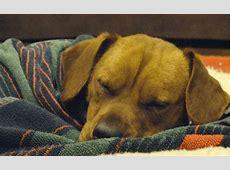pneumonia in small dogs