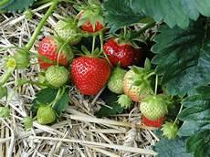 erdbeeren pflegen und selbst vermehren stadt land bl 252 ht