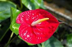 pflanze mit roter blüte anthurie pflegen 187 gie 223 en d 252 ngen umtopfen und mehr