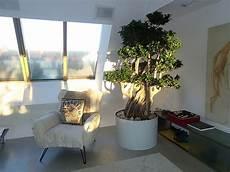 baum in der wohnung kleiner baum pflanze in wohnraum wohnung kaufen