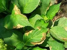 Hortensien Krankheiten Blätter - hortensien krankheiten