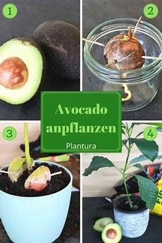 Avocadokern Einpflanzen Vermehrung Anbau Leichtgemacht