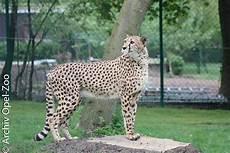 Erstmals Geparden Nachwuchs Im Opel Zoo 12 07 2019