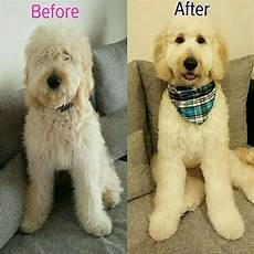 semi short haircut on a goldendoodle goldendoodles pin by melissa obe on goldendoodle goldendoodle haircuts goldendoodle grooming labradoodle