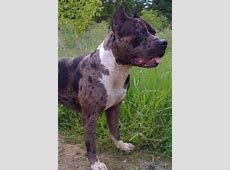 Gotti Is A 100 Pound Blue Merle Pitbull  OMG  He is
