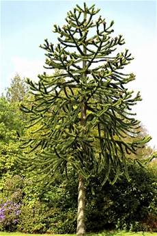 key tips on how to grow and care for the monkey puzzle tree