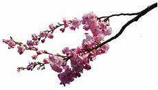 cherry blossom branches png stock by astoko on deviantart
