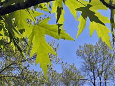 Acer Saccharinum Silver Maple Tree Fact Sheet