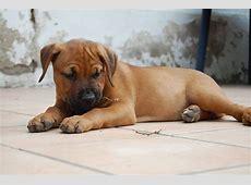Crazy (Amerikanischer Staffordshire Terrier, Rottweiler
