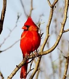 el cardenalito simbolo del estado lara blog de curiosidades de cortulara