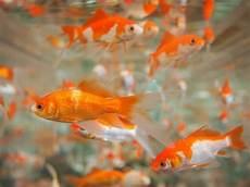 do goldfish and koi eat each other k o i