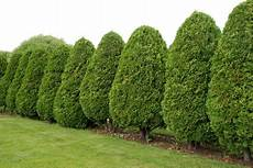 Thuja Brabant Schneiden - 4 different varieties of arborvitae doityourself