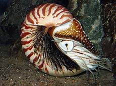 Karakteristik Dan Klasifikasi Kelas Cephalopoda Tentorku