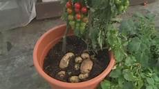 kartoffel tomaten pflanze tomtato hybrid tomato and potato hybrid plant launched