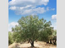 Olive Tree Manzanillo   Hello Hello Plants & Garden Supplies