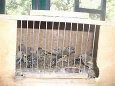 riproduzione cardellini in gabbia napoli le guardie oipa sequestrano nove cardellini ed un