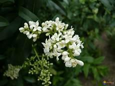 arbuste à fleurs blanches odorantes photo tro 232 ne de californie