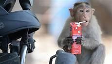 32 Populer Gambar Monyet Cantik Lucu Terkini Fullstiker