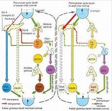 Poppy S Sistem Endokrin