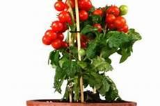 tomaten 187 so gewinnen sie ableger
