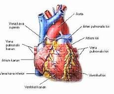 Biologi Kagem Sedoyo Anatomi Jantung Manusia