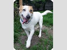 Roscoe   Adopted Dog   Duluth, MN   Jack Russell Terrier