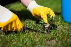 Mittel Gegen Unkraut Im Rasen - mit unkrautvernichter gegen rasenunkraut ank 228 mpfen