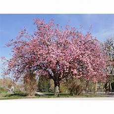 Cherry Buy Cherry Prunus Serrulata