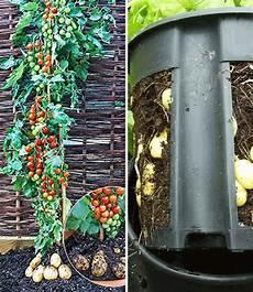 kartoffel tomaten pflanze tomtato 174 potatopot 174 pflanzkartoffeln bei baldur garten