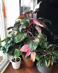 Philodendron Pink Princess House Plants Plants House