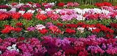 piante fiorite perenni piante perenni guida completa