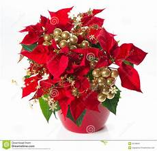 Poinsettia Flower With Golden Deco Stock