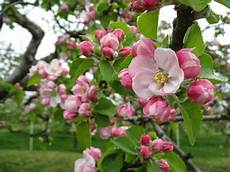 the orchard tea room farm shop sponsor a bramley apple