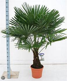 bol palmbomen tuin en balkonplant trachycarpus
