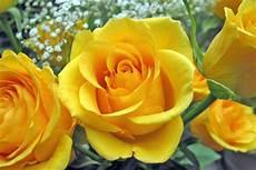 Gambar Gambar Bunga Mawar Yang Indah Gambar Foto Wallpaper