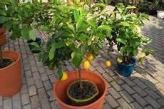 Obstbäume Pflanzen Wann - obstbaum okulieren 187 wann warum und wie macht wird s gemacht