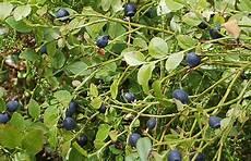 heidelbeeren pflanzen abstand heidelbeeren pflanzen qg36 casaramonaacademy