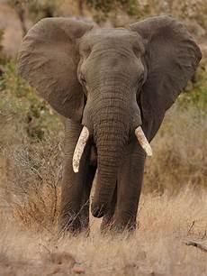 Malvorlage Afrikanischer Elefant Afrikanischer Elefant Forum F 252 R Naturfotografen