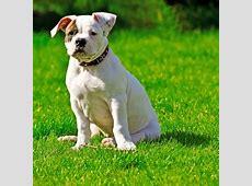 Engelse bulldog   OMyDog
